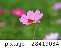 蜜蜂與花 28419034