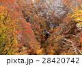 鳴子峡 紅葉 秋の写真 28420742