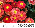 Red chrysanthemum flowers 28422693