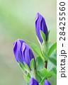 竜胆 リンドウ 青花の写真 28425560