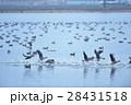 宮島沼を飛び立つマガン 28431518