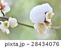 梅の花 梅 白梅の写真 28434076