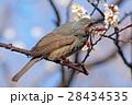 梅の花の蜜を吸うヒヨドリ 小金井公園 28434535