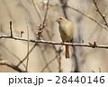 生き物 鳥類 梅に、ジョウビタキ(メス)。庭先にも出没する身近な冬鳥、メスはやっぱり地味です 28440146