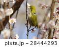 鳥類 鳥 小鳥の写真 28444293