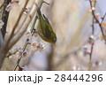 鳥類 鳥 小鳥の写真 28444296