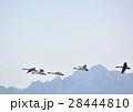 鳥 白鳥 渡り鳥の写真 28444810