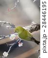 メジロ 梅 小鳥の写真 28446195