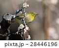 メジロ 梅 小鳥の写真 28446196