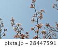 嵐山の桜1 28447591