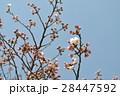 嵐山の桜2 28447592