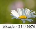 マーガレット 白色 春の花の写真 28449970