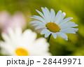 マーガレット 白色 春の花の写真 28449971