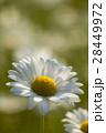 マーガレット 白色 春の花の写真 28449972