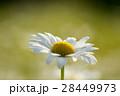 マーガレット 白色 春の花の写真 28449973