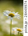 マーガレット 白色 春の花の写真 28449974