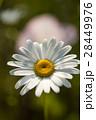 マーガレット 白色 春の花の写真 28449976