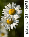 マーガレット 白色 春の花の写真 28449978