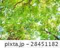 常緑樹、クスノキ、 エコロジーイメージ 28451182