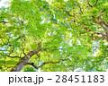 常緑樹、クスノキ、 エコロジーイメージ 28451183