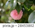 千重咲きのツバキ「乙女椿(淡乙女)」 28453802