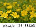 ヤマブキ 山吹 花の写真 28453803