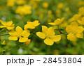 ヤマブキ 山吹 花の写真 28453804