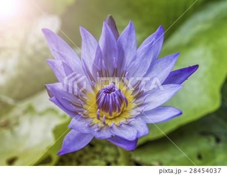 purple lotus flower 28454037