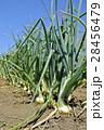 北もみじ 玉葱 畑の写真 28456479