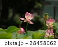 蓮の花 28458062