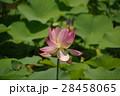 蓮の花 28458065