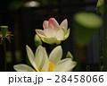 蓮 花 ピンクの写真 28458066