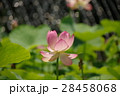 蓮の花 28458068