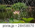 蓮 花 ピンクの写真 28458070