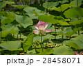 蓮の花 28458071
