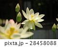 蓮 背景素材 蓮の花の写真 28458088