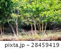 樹木 樹 ツリーの写真 28459419