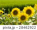 向日葵と田んぼ 28462922