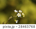 小花 白色 草花の写真 28463768