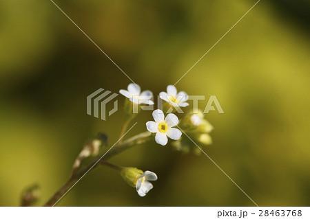 キュウリグサの花 28463768
