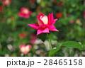 バラ 花 赤色の写真 28465158