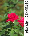 バラ 花 赤色の写真 28465160