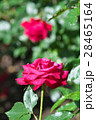 バラ 花 赤色の写真 28465164
