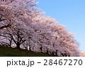 背割堤 桜並木 桜の写真 28467270