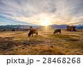 ウシ 牛 夕日の写真 28468268