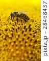 ひまわり 向日葵 マクロの写真 28468437