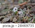 キンポウゲ科 花 植物の写真 28469735