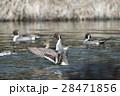 オナガガモ かも 池の写真 28471856