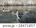 オナガガモ かも 池の写真 28471857