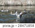 オナガガモ かも 池の写真 28471858